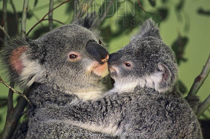 Koala (Phascolarctos cinereus) mother with joey, Australia