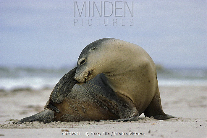 Australian Sea Lion (Neophoca cinerea) scratching its head, Kangaroo Island, Australia  -  Gerry Ellis