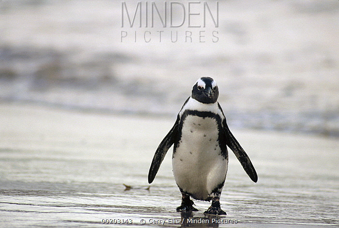 Black-footed Penguin (Spheniscus demersus) molting on the beach, Cape of Good Hope, South Africa  -  Gerry Ellis