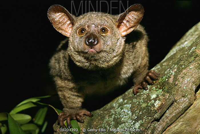 Thick-tailed Bush Baby (Otolemur crassicaudatus) in tree at night, Maputaland Coastal Forest Reserve, South Africa  -  Gerry Ellis