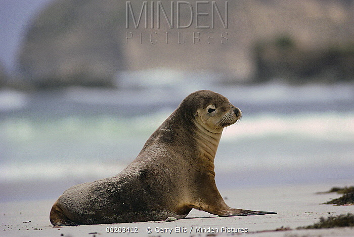 Australian Sea Lion (Neophoca cinerea) on beach, Kangaroo Island, Australia  -  Gerry Ellis