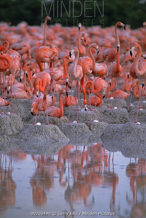 Greater Flamingo (Phoenicopterus ruber) group at waters edge, Inagua National Park, Bahamas  -  Gerry Ellis
