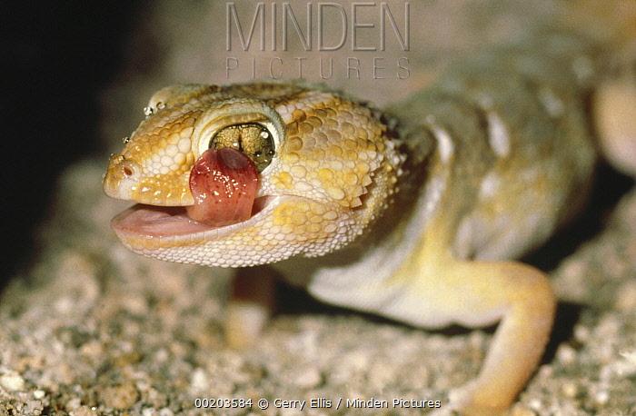Common Barking Gecko (Ptenopus garrulus) licking its eye, Kalahari Desert, Botswana  -  Gerry Ellis