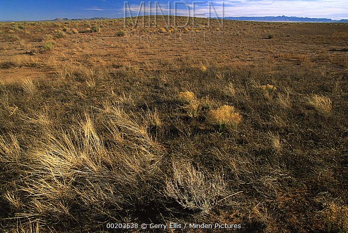 Native Chihuahuan Desert grassland near San Pedro, Chihuahuan Desert, Mexico  -  Gerry Ellis