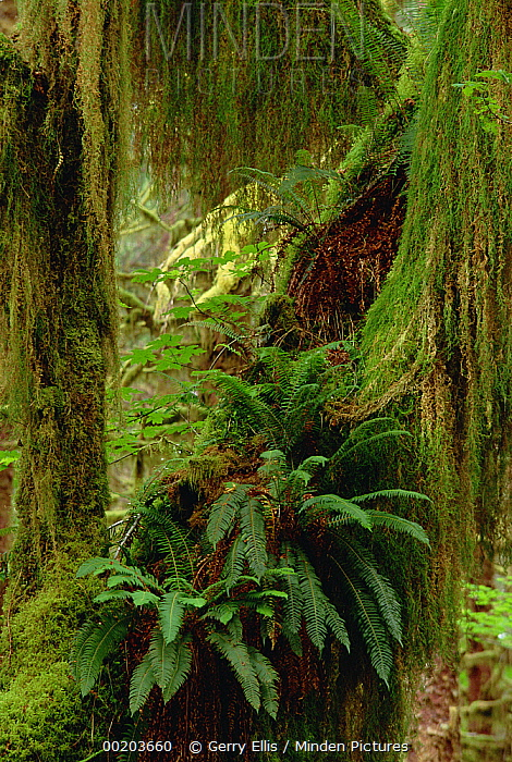 Minden Pictures stock photos - Epiphytic Sword Fern