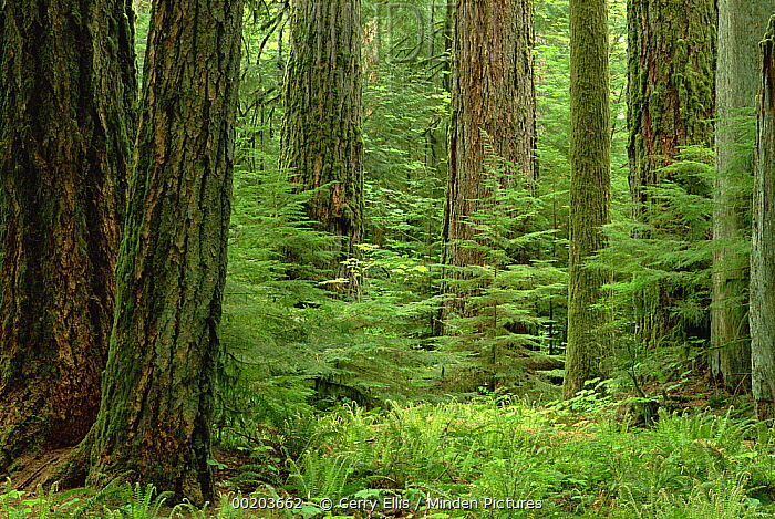 Douglas Fir (Pseudotsuga menziesii) old growth forest, Vancouver Island, British Columbia, Canada  -  Gerry Ellis