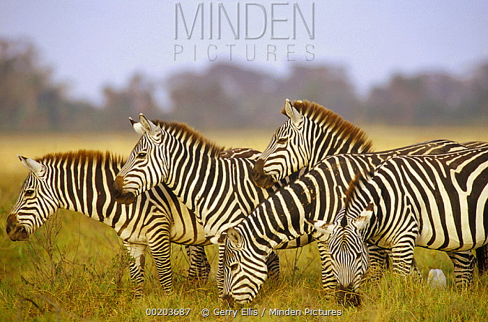 Burchell's Zebra (Equus burchellii) herd grazing, Amboseli National Park, Kenya  -  Gerry Ellis