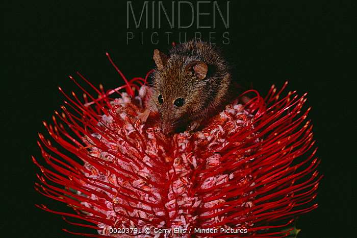 Honey Possum (Tarsipes rostratus) feeding on flowering Scarlet Banksia (Banksia coccinea), Western Australia  -  Gerry Ellis
