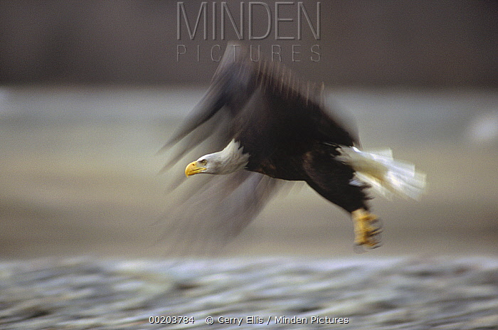Bald Eagle (Haliaeetus leucocephalus) flying, Alaska  -  Gerry Ellis