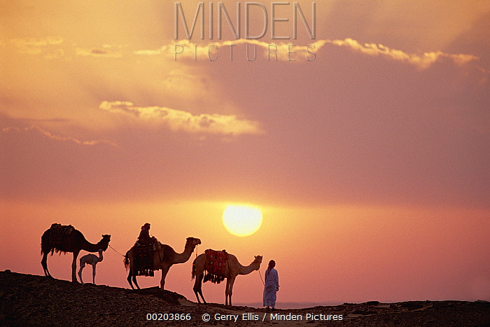 Dromedary (Camelus dromedarius) trio, domestic camels with Bedouins at sunset, Oasis Dakhia, Great Sand Sea, Sahara Desert, Egypt  -  Gerry Ellis