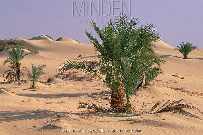 Palm trees growing out of sand in oasis, Oasis Dakhia, Sahara Desert, Egypt  -  Gerry Ellis