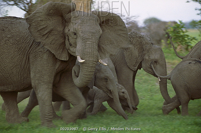 African Elephant (Loxodonta africana) herd of adults and calves running, Linyanti Swamp, Botswana  -  Gerry Ellis