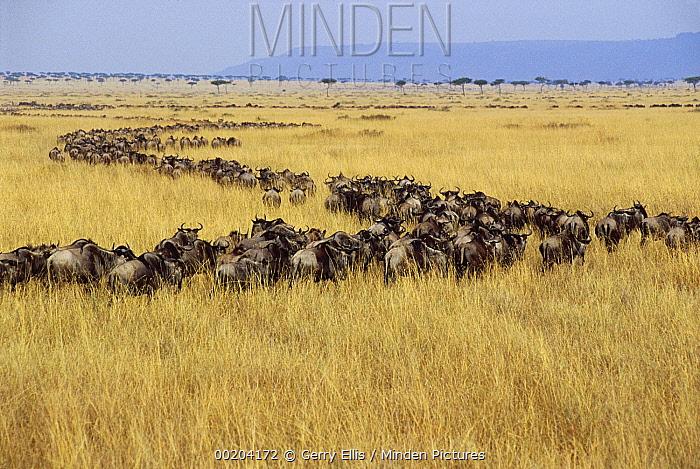 Blue Wildebeest (Connochaetes taurinus) herd migrating across Serengeti, Masai Mara National Reserve, Kenya  -  Gerry Ellis