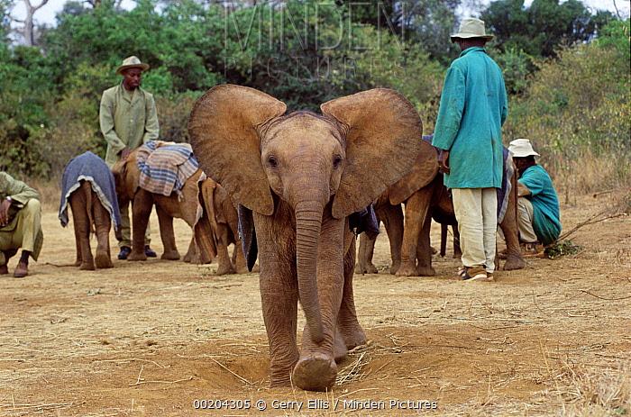 African Elephant (Loxodonta africana) orphan, Maluti, six months old, charging camera, David Sheldrick Wildlife Trust, Tsavo East National Park, Kenya  -  Gerry Ellis