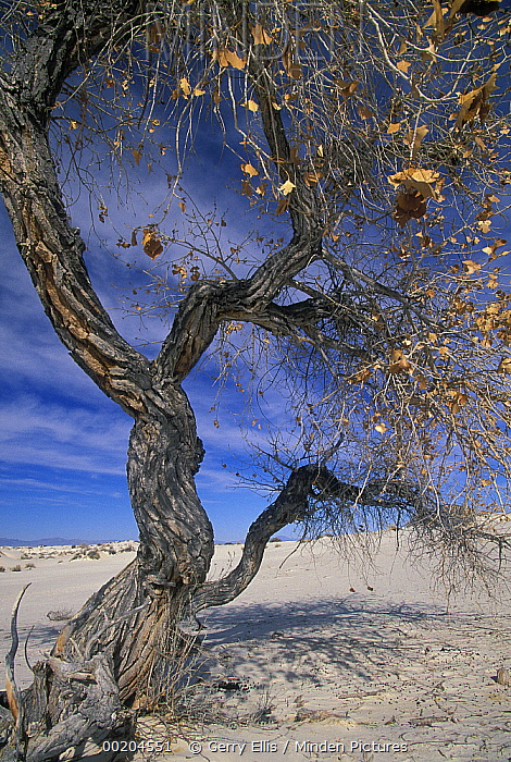 Fremont Cottonwood (Populus fremontii) tree in Chihuahuan Desert, White Sands National Monument, New Mexico  -  Gerry Ellis