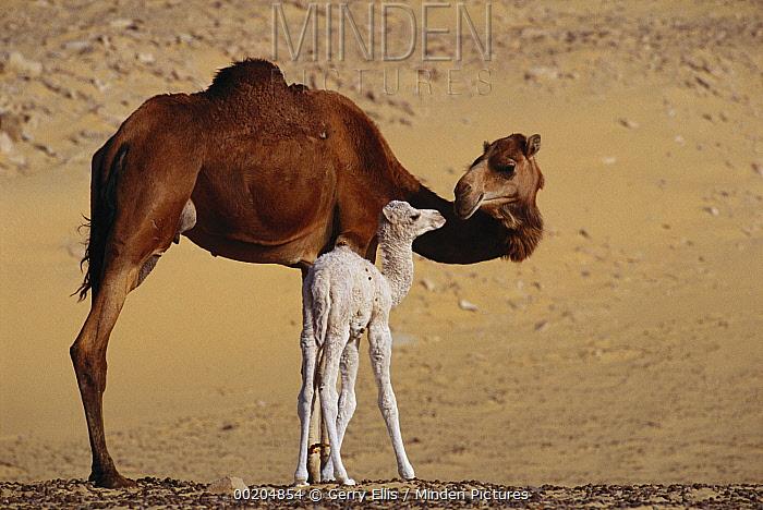 Dromedary (Camelus dromedarius) camel mother with two day old baby, Oasis Dakhia, Sahara, Egypt