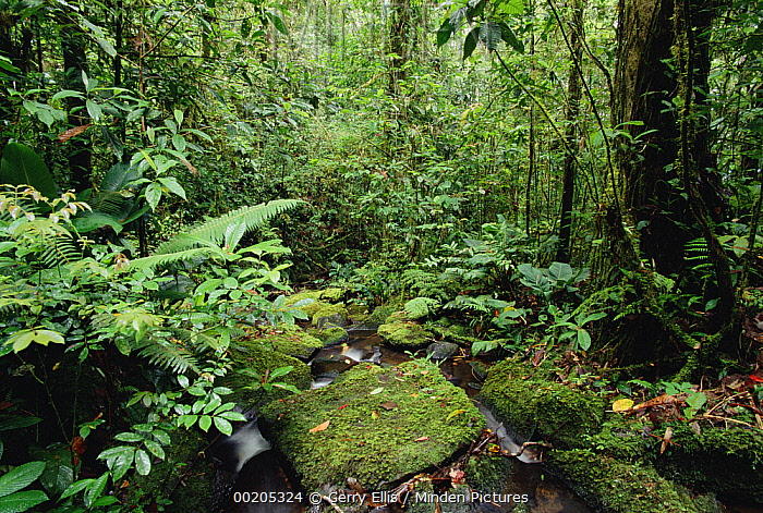Mountain stream flowing through montane tropical rainforest at 1200 meters, Mt Bosavi, Papua New Guinea  -  Gerry Ellis