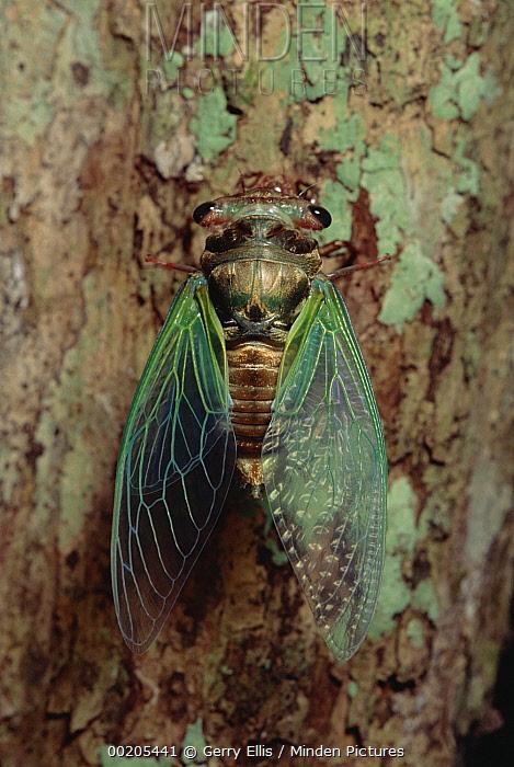 Cicada (Cryptotympana aquila) emerging at night, Taman Negara National Park, Malaysia  -  Gerry Ellis