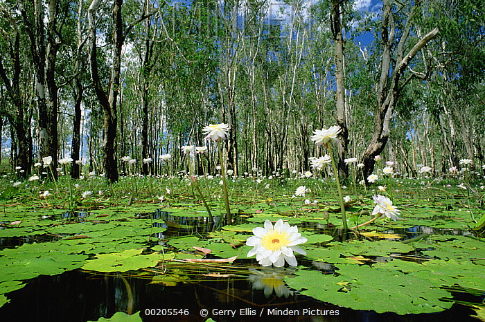 Sacred Lotus (Nelumbo nucifera) in bloom on billabong during wet season, Kakadu National Park, Northern Territory, Australia