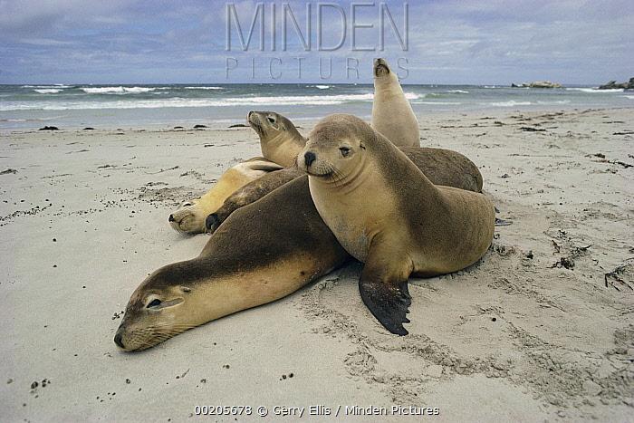 Australian Sea Lion (Neophoca cinerea) group resting on beach, Kangaroo Island, Australia  -  Gerry Ellis