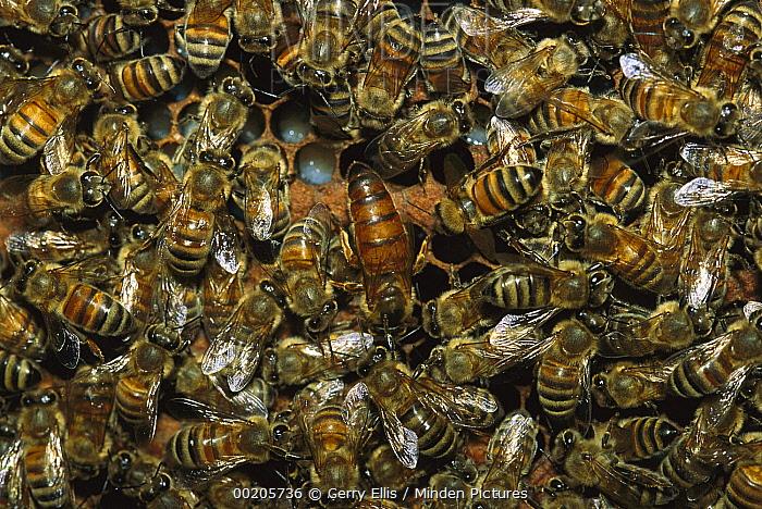 Honey Bee (Apis mellifera) swarm surrounding Queen in hive, North America  -  Gerry Ellis