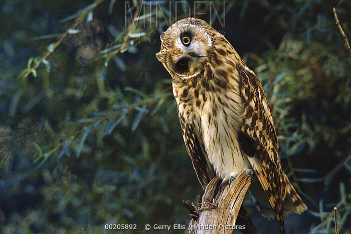 Short-eared Owl (Asio flammeus) portrait with head cocked to one side, North America  -  Gerry Ellis
