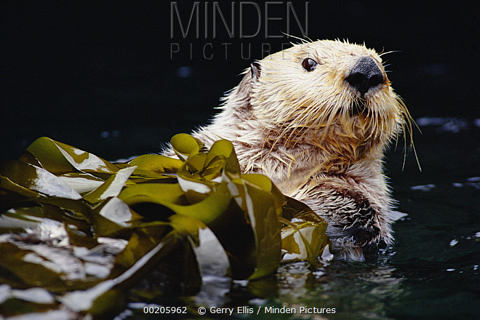 Sea Otter (Enhydra lutris) portrait in Kelp, Pacific coast, North America  -  Gerry Ellis