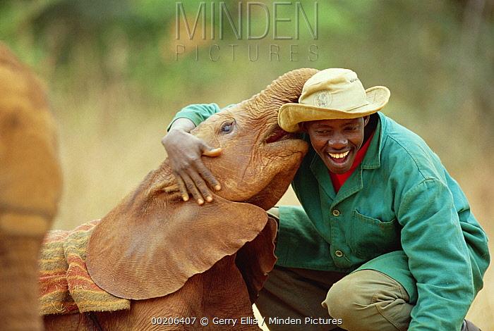 African Elephant (Loxodonta africana) keeper Patrick with Lingwesi, a five week old orphan, David Sheldrick Wildlife Trust, Tsavo East National Park, Kenya  -  Gerry Ellis