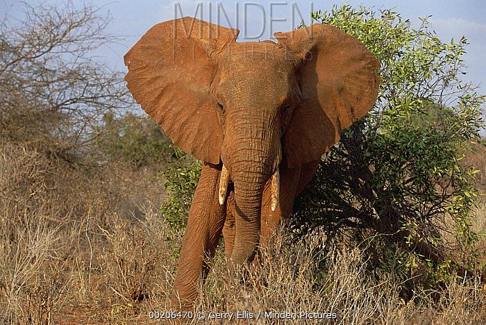 African Elephant (Loxodonta africana) portrait, Tsavo National Park, Kenya  -  Gerry Ellis