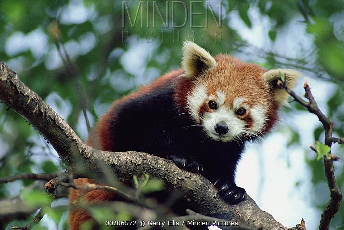 Lesser Panda (Ailurus fulgens), native to China, Nepal and Burma  -  Gerry Ellis
