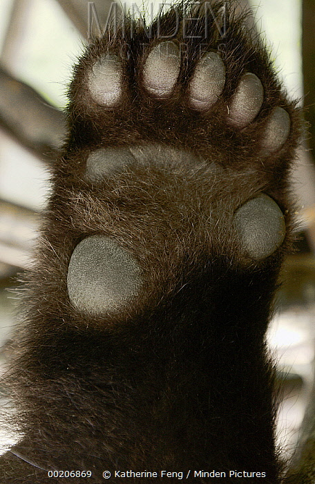 Giant Panda (Ailuropoda melanoleuca) detail of underside of paw, China Conservation and Research Center for the Giant Panda, Wolong Nature Reserve, China  -  Katherine Feng