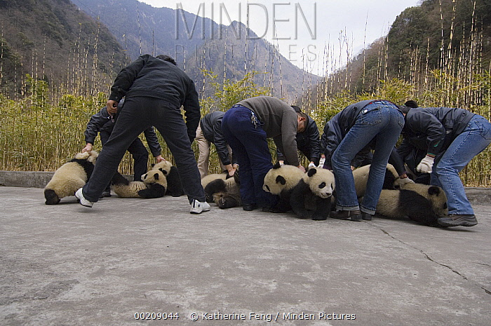 Giant Panda (Ailuropoda melanoleuca) cubs being arranged in attempt to photograph all 16 cubs together, Wolong Nature Reserve, China, sequence 1 of 3  -  Katherine Feng