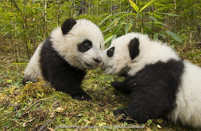 Giant Panda (Ailuropoda melanoleuca) two cubs touching noses, Wolong Nature Reserve, China  -  Katherine Feng