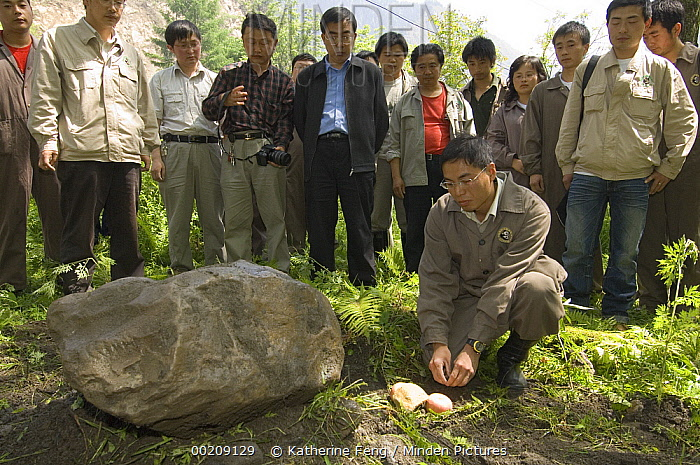Giant Panda (Ailuropoda melanoleuca) keeper, He Changgui tearfully places Mao Mao's favorite food next to her tombstone after the May 12, 2008 earthquake and landslides, CCRCGP, Wolong, China  -  Katherine Feng
