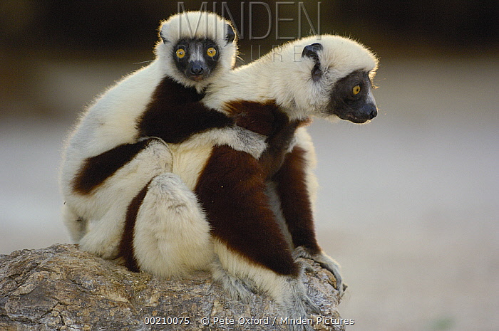 Coquerel's Sifaka (Propithecus coquereli) mother and baby, Ankarafantsika Strict Nature Reserve, western Deciduous forest, Madagascar  -  Pete Oxford