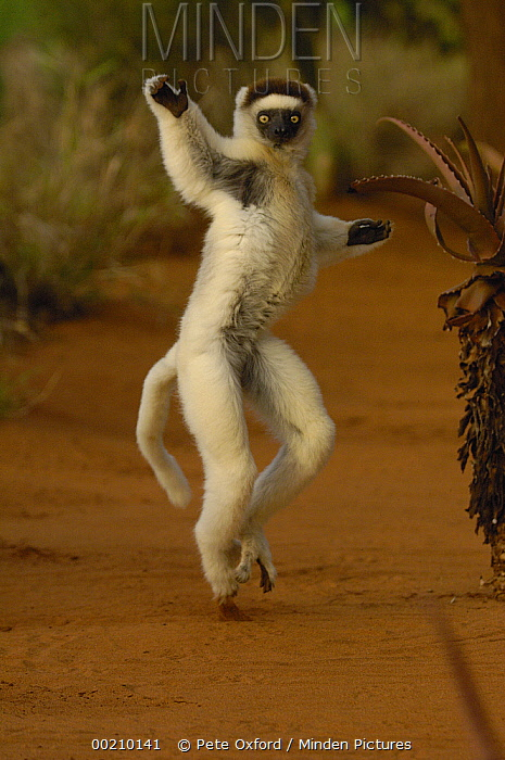 Verreaux's Sifaka (Propithecus verreauxi) hopping across open ground, vulnerable, Berenty Reserve, southern Madagascar  -  Pete Oxford