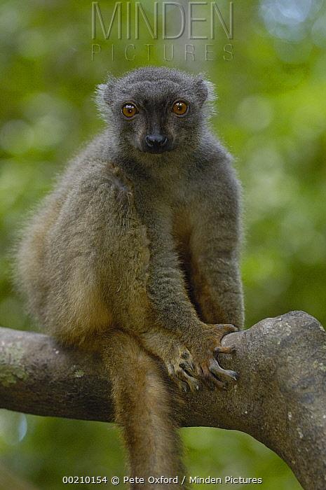 Sanford's Brown Lemur (Eulemur fulvus sanfordi) female, Ankarana Special Reserve, northern Madagascar  -  Pete Oxford
