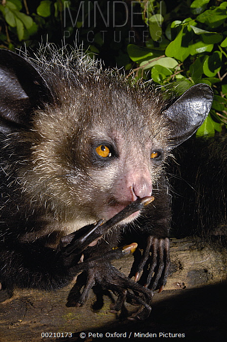 Aye-aye (Daubentonia madagascariensis) one of the more bizarre mammals in the world, their peculiar features include huge ears, bushy tail, long shaggy coast, rodent-like teeth and a skeletal 'probe-like' middle finger, Tsimbazaza Zoo, Madagascar  -  Pete Oxford