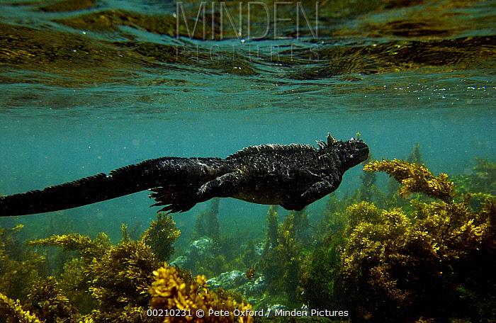 Marine Iguana (Amblyrhynchus cristatus) swimming amid algae, vulnerable, Fernandina Island, Galapagos Islands, Ecuador  -  Pete Oxford