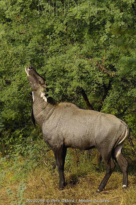 Nilgai (Boselaphus tragocamelus) male, Velavadar National Park, Gujarat, India  -  Pete Oxford