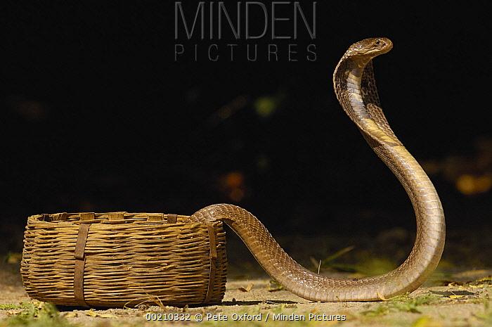 Spectacled Cobra (Naja naja) with hood flared in defense posture, Gujarat, India  -  Pete Oxford