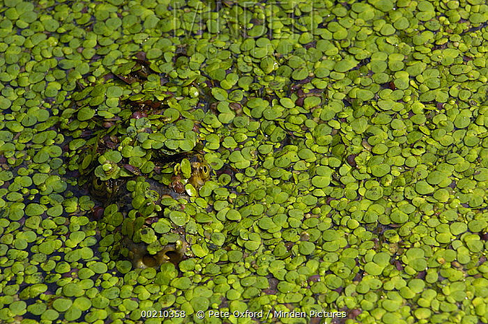 Softshell Turtle (Trionychinae) covered with pond weed, Bharatpur National Park, Rajasthan, India  -  Pete Oxford