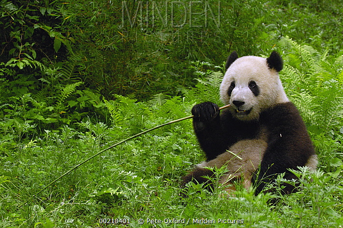 Giant Panda (Ailuropoda melanoleuca) sitting in vegetation eating bamboo, Wolong China Conservation and Research Center for the Giant Panda within Wolong Reserve, Sichuan Province  -  Pete Oxford