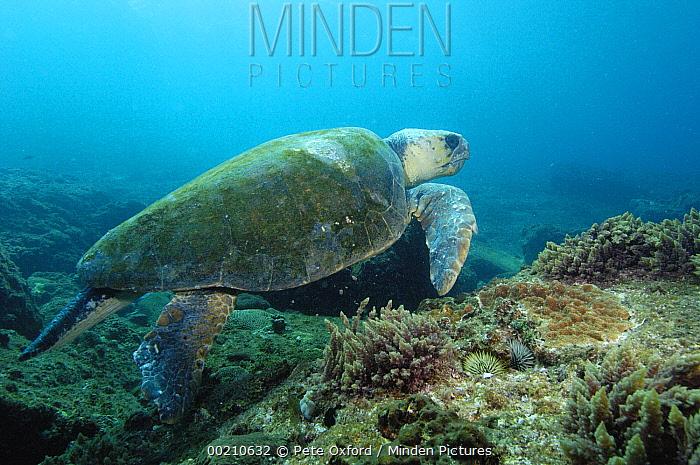 Loggerhead Sea Turtle (Caretta caretta) swimming near ocean bottom, North Stradbroke Island, Australia  -  Pete Oxford