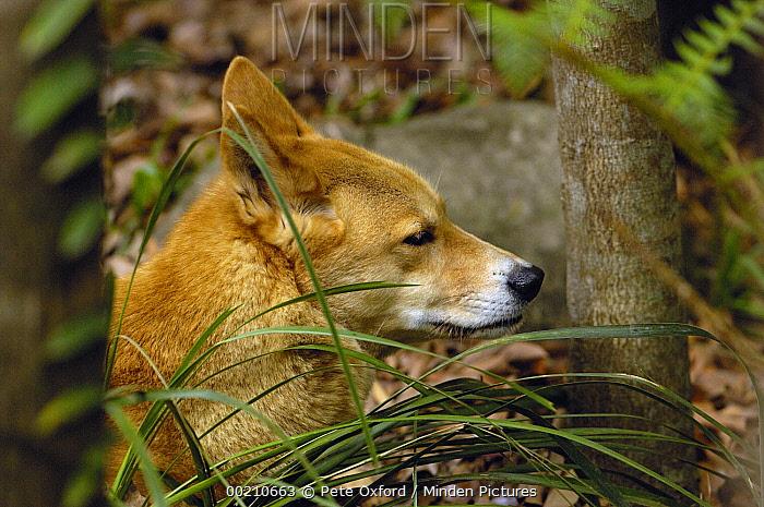 Dingo (Canis lupus dingo), Australia Zoo, Tasmania, Australia  -  Pete Oxford