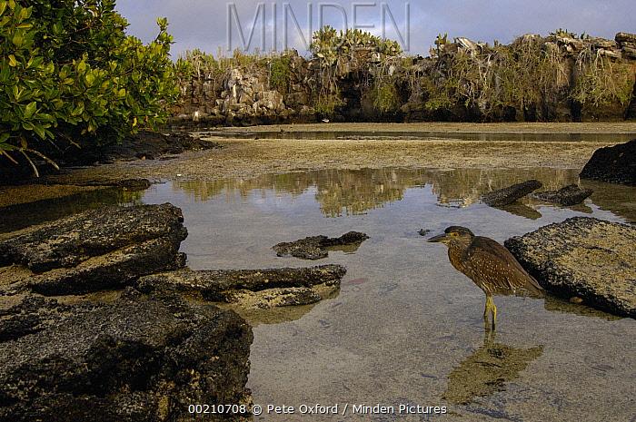 Yellow-crowned Night-Heron (Nyctanassa violacea) juvenile, Tower Island, Galapagos Islands, Ecuador  -  Pete Oxford