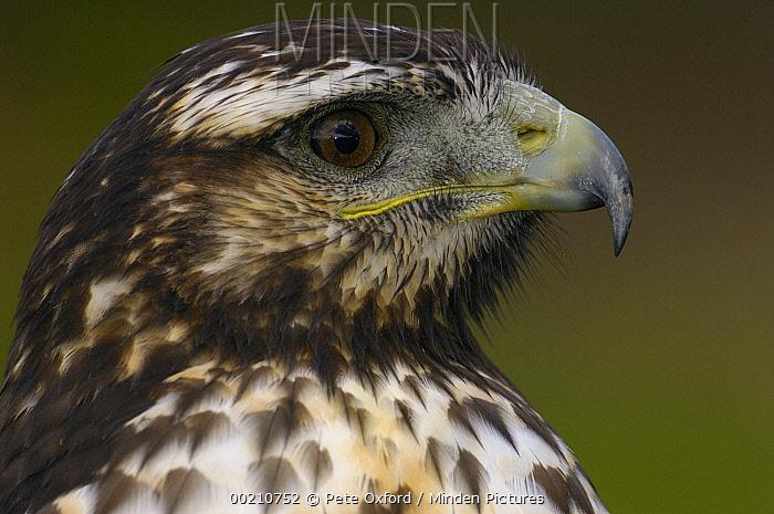 Black-chested Buzzard-Eagle (Geranoaetus melanoleucus) juvenile, Ecuador  -  Pete Oxford