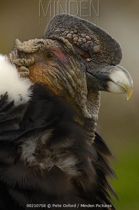 Andean Condor (Vultur gryphus) portrait, Andes Mountains, Ecuador  -  Pete Oxford