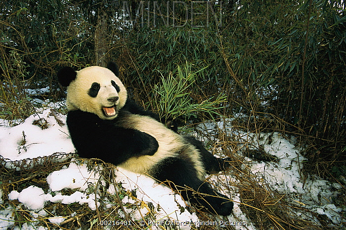 Giant Panda (Ailuropoda melanoleuca) reclining in snow, Wolong Valley, China  -  Pete Oxford