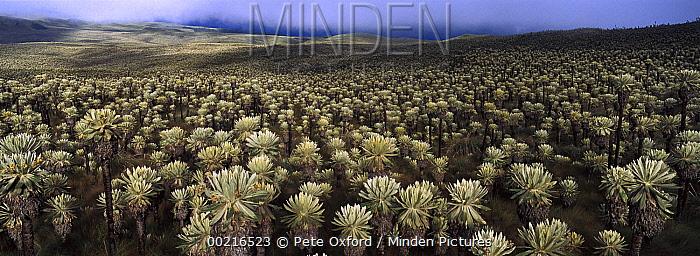 Paramo Flower (Espeletia pycnophylla) field, El Angel Reserve, northeastern Ecuador  -  Pete Oxford